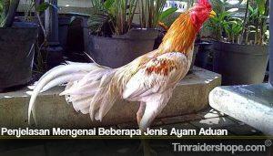 Penjelasan Mengenai Beberapa Jenis Ayam Aduan