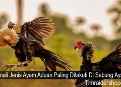 Kenali Jenis Ayam Aduan Paling Ditakuti Di Sabung Ayam