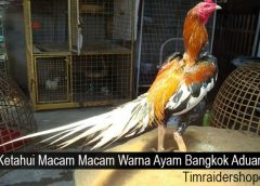Ketahui Macam Macam Warna Ayam Bangkok Aduan